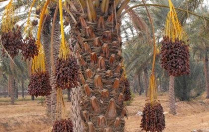 Lutte contre le Boufaroua et le Myelois : Plus de 85 millions DA pour la campagne