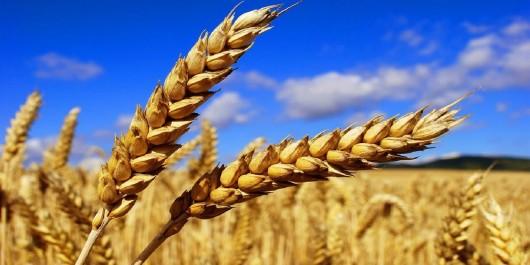 Algérie: Plus de 170.000 quintaux de céréales engrangés dans la wilaya de Ghardaïa