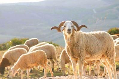 Tiaret : Les prix des moutons en chute libre