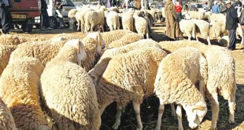 Naâma: Légère hausse des prix des moutons