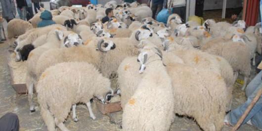 Aïd El Adha: Alger dotée de 6 sites pour la vente directe de moutons