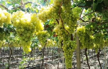 Boumerdès : Le raisin de table, entre contraintes de production et opportunité à l'export