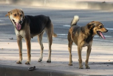 Trois étudiantes victimes de morsures d'un chien errant: Panique à la résidence universitaire «Nahas Nabil»