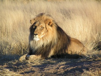 Taref : Un lion évadé sème la terreur