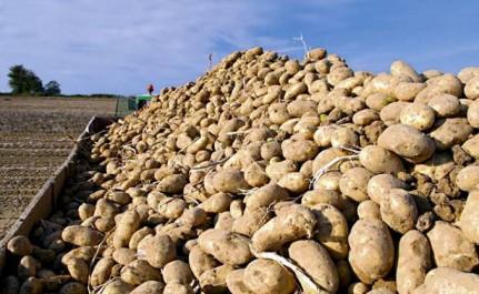 Ain defla : Début de la mise sur le marché de plus de 10 000 tonnes de pommes de terre