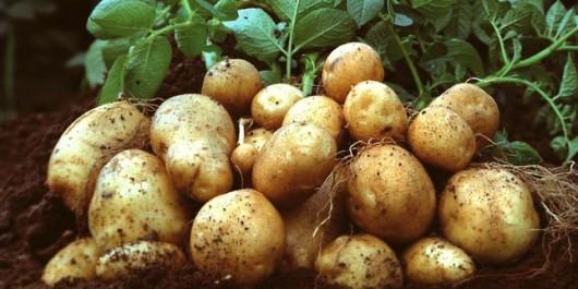 Une production de 50 millions de quintaux de Pomme de terre réalisée au cours de la saison agricole écoulée