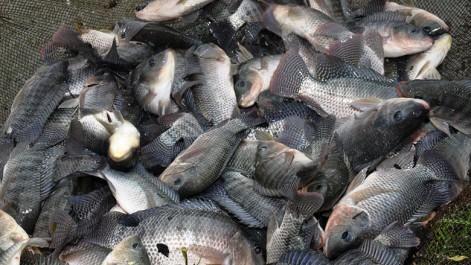 Algérie: Vers l'ensemencement de 9.000 alevins de tilapia rouge dans 45 bassins d'agriculteurs de Kerzaz (Bechar)