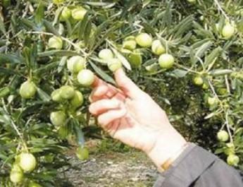 El-Bayadh: Une nouvelle oliveraie de 10.000 hectares