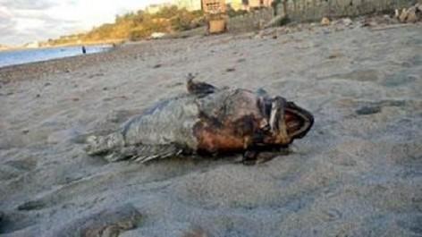 Oran : La mort des mérous découverts sur les plages est due à une cause virale