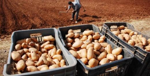 El-Bayadh: Une production record de pomme de terre mais…
