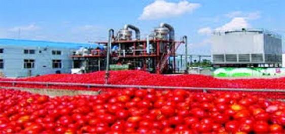 Selon les recommandations de son conseil de wilaya: «El Tarf doit se spécialiser dans la tomate industrielle»