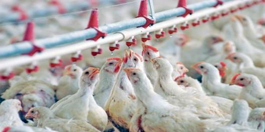 Filière avicole : Hausse de la production et baisse des prix en octobre
