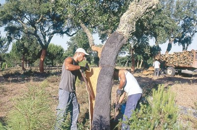 Souk Ahras : Récolte de plus de 7 800 quintaux de liège