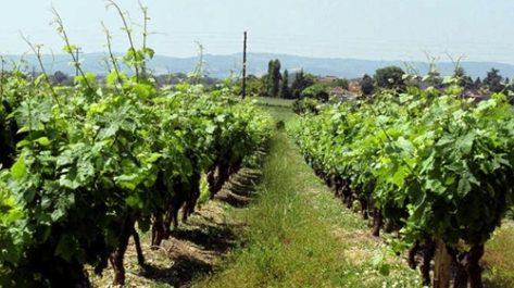 L'arrachage sauvage de la vigne de cuve est un désastre