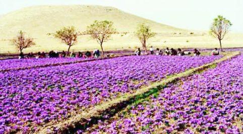 Culture du safran : Expérience pilote à Ain-Fezza (Tlemcen)