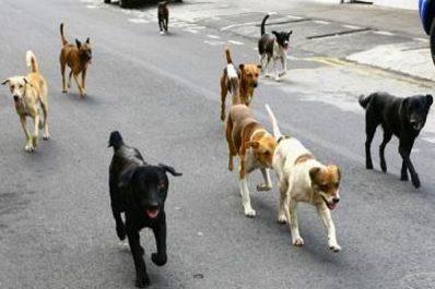 Constantine – Aïn Abid: Les chiens sèment l'inquiétude parmi les habitants
