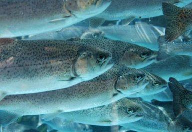 Bechar : exportation de 5,5 tonnes de poissons d'eau douce vers la Tunisie