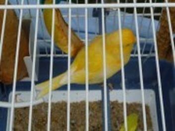 Tlemcen: saisie de 395 canaris à Ouled Mimoune (sûreté de wilaya)