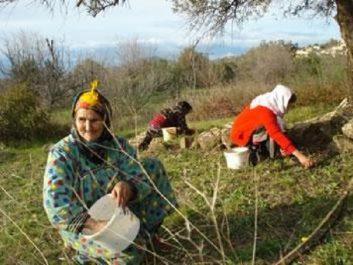 Oléiculture à bouira : Activité millénaire et lien identitaire