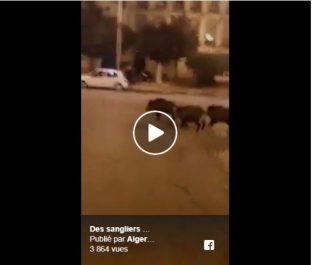 Vidéo/ Les habitants tirent la sonnette d'alarme: Des sangliers sèment la panique à Sidi El Houari