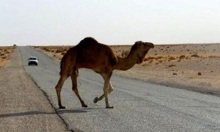 Accidents de la circulation à Ouargla: le dromadaire, un véritable danger pour les usagers de la route
