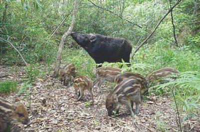 RELIZANE : Des cultures maraîchères dévastées par des sangliers