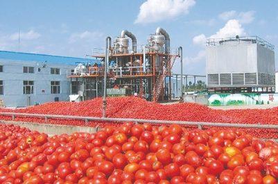 Tomate industrielle: Des rendements en nette amélioration
