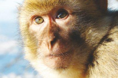 Trois autres primates sont apparus dans la circonscription : Un singe magot capturé à Draria