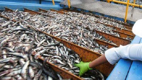 El-Kala: Saisie de 13 quintaux de sardine