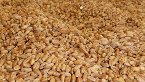 Les prix du blé en baisse, sous pression de la parité euro/dollar