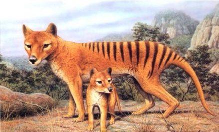 Durant sa croissance postnatale le tigre de Tasmanie quittait l'apparence de marsupial pour celle de chien