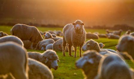 06 voleurs arrêtés a Tiaret : Le vol de moutons prend une inquiétante ampleur