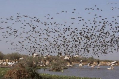 El Tarf: plus de 60 000 oiseaux d'eau migrateurs recensés à El Tarf