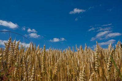 La hausse de l'euro pèse sur le blé européen