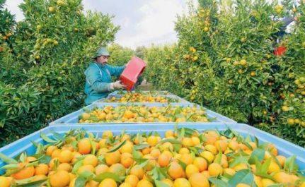 Baisse des exportations algériennes en agrumes en 2017