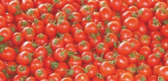 Production de la Tomate industrielle à Annaba : 1 183 890 quintaux attendus pour la campagne 2017/2018