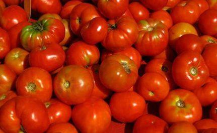 Tomate industrielle : Les contraintes d'une filière