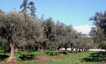 Les surfaces agricoles consacrées à l'oléiculture estimées à 500.000 hectares à ce jour