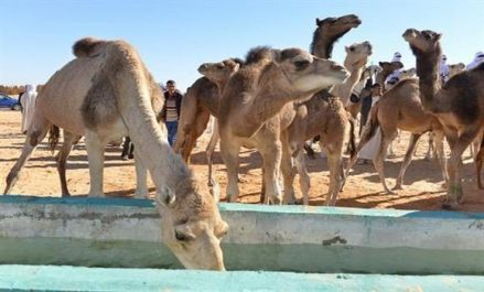 Bouazghi : bientôt un programme pour promouvoir l'élevage camelin