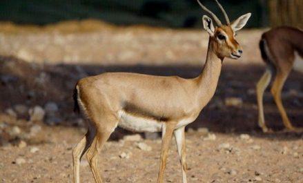 Tlemcen: lancement d'un programme de protection de la gazelle du Cuvier