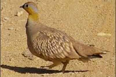 Une bonne perspective pour la direction des forêts : Un oiseau aquatique repéré à Touggourt
