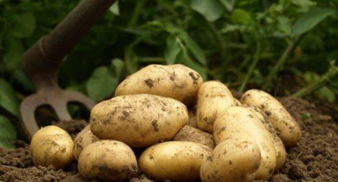 Pomme de terre : Une récolte de 2,5 millions de quintaux attendue à Mostaganem