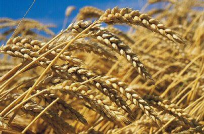 L'Algérie s'intéresse au blé Russe, une nouvelle qui déplaît à la France