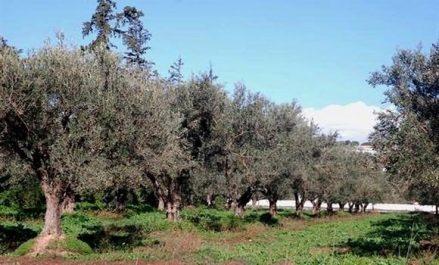 CNMA : lancement prochain d'une assurance contre les incendies d'oliviers