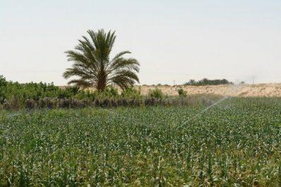 Vidéo: Ain Naga (Biskra) produit des aliments agricoles