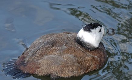 Mila: dénombrement de 15 érismature à tête blanche, un oiseau rare