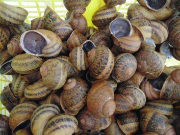 Une cargaison de 1,2 tonne d'escargots algériens refoulés d'Italie !