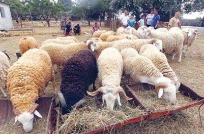 Services vétérinaires: le cheptel ovin n'est pas exposé au risque de la fièvre aphteuse