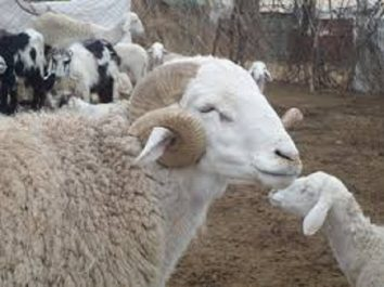 Alors que les ventes ne décollent pas: Le mouton de plus en plus cher