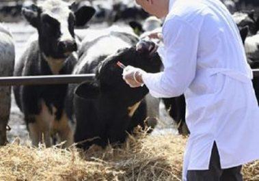 Tlemcen: Plus d'une centaine de vétérinaires mobilisés pour le contrôle des moutons